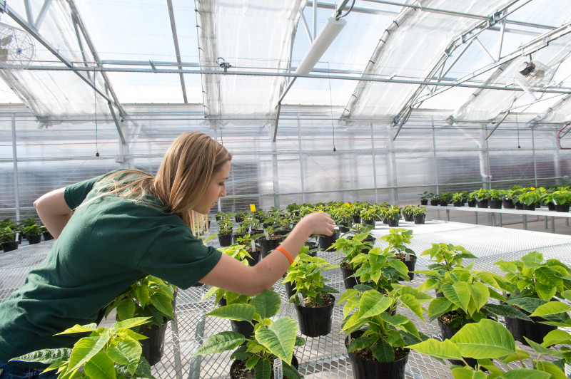 Grad student caring for poinsettias